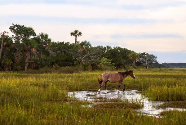 Horse on Cumberland  Island