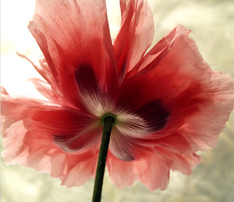 Color Poppy