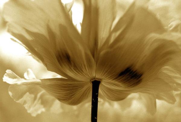 Sepia Poppy